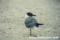 Shore seagull