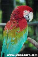 Greenwing Macaw parrot