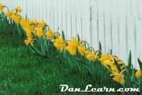 Row of daffodils
